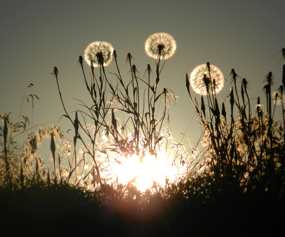 1 Dandelion Sun
