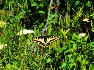 1Swallowtail2