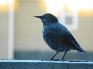 1 Starlings